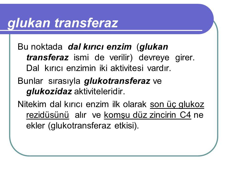 glukan transferaz Bu noktada dal kırıcı enzim (glukan transferaz ismi de verilir) devreye girer. Dal kırıcı enzimin iki aktivitesi vardır.