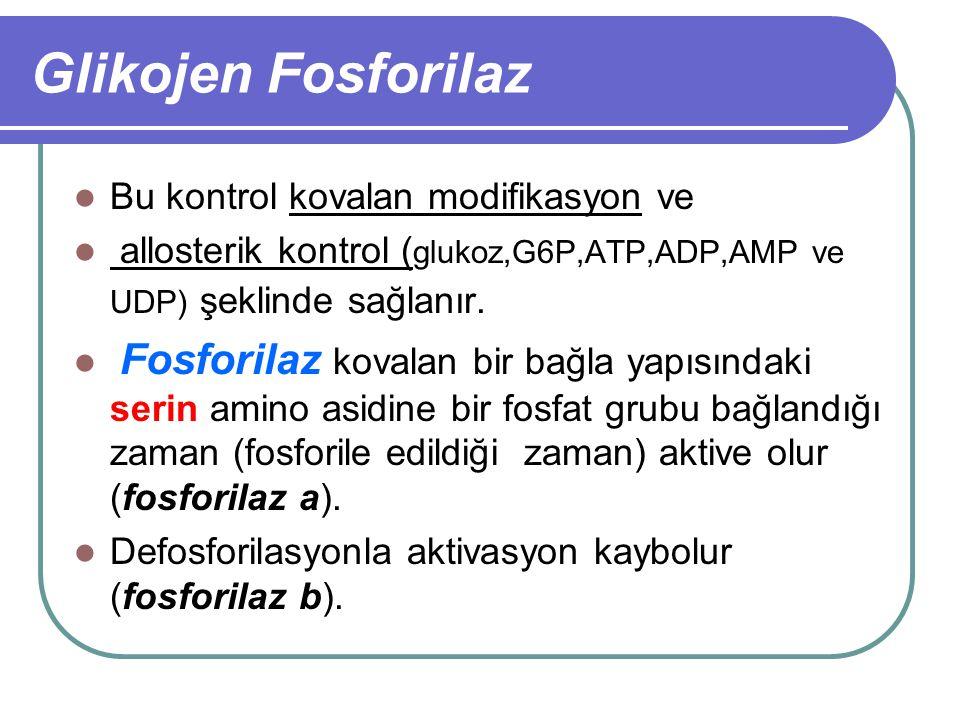 Glikojen Fosforilaz Bu kontrol kovalan modifikasyon ve