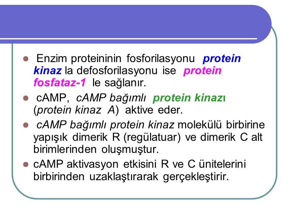 Enzim proteininin fosforilasyonu protein kinaz la defosforilasyonu ise protein fosfataz-1 le sağlanır.