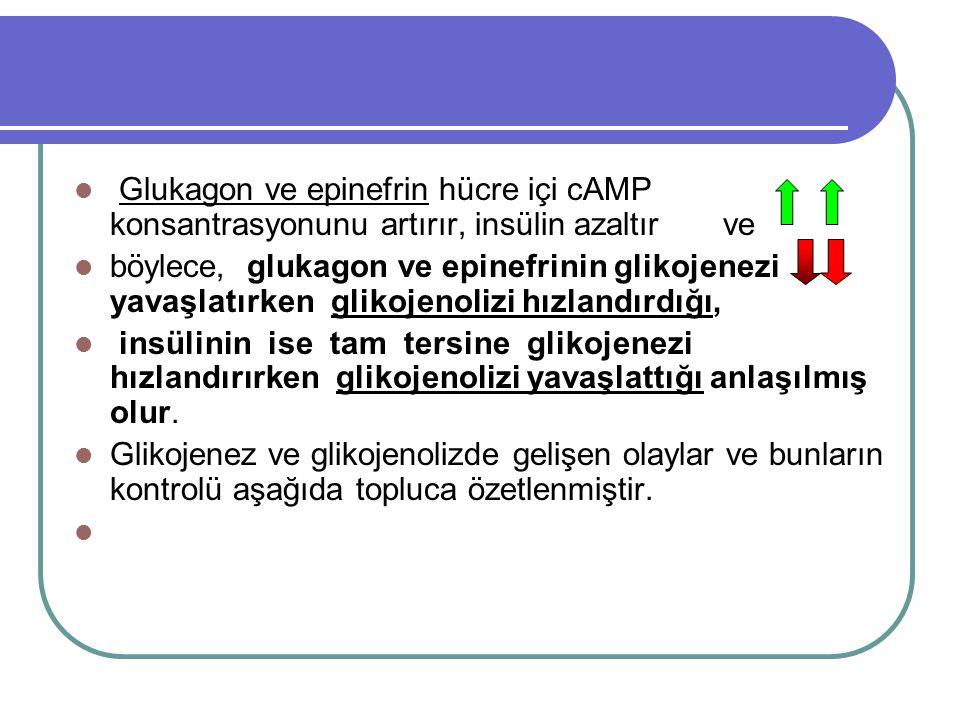 Glukagon ve epinefrin hücre içi cAMP konsantrasyonunu artırır, insülin azaltır ve