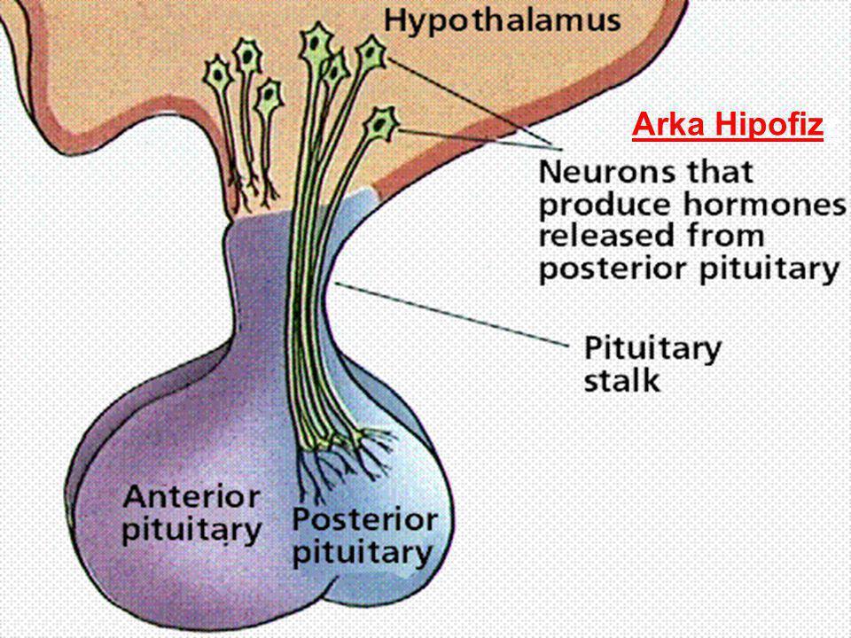 Arka Hipofizz
