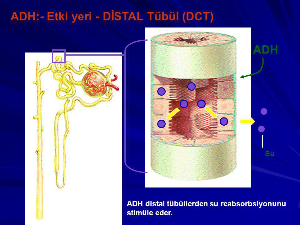 ADH:- Etki yeri - DİSTAL Tübül (DCT)
