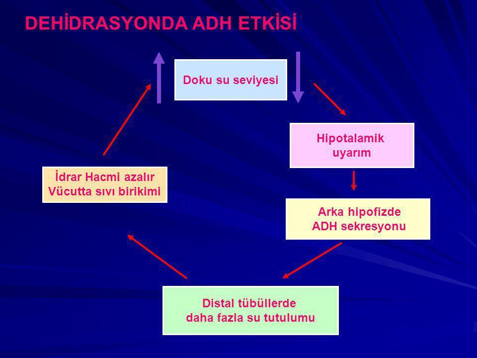 DEHİDRASYONDA ADH ETKİSİ