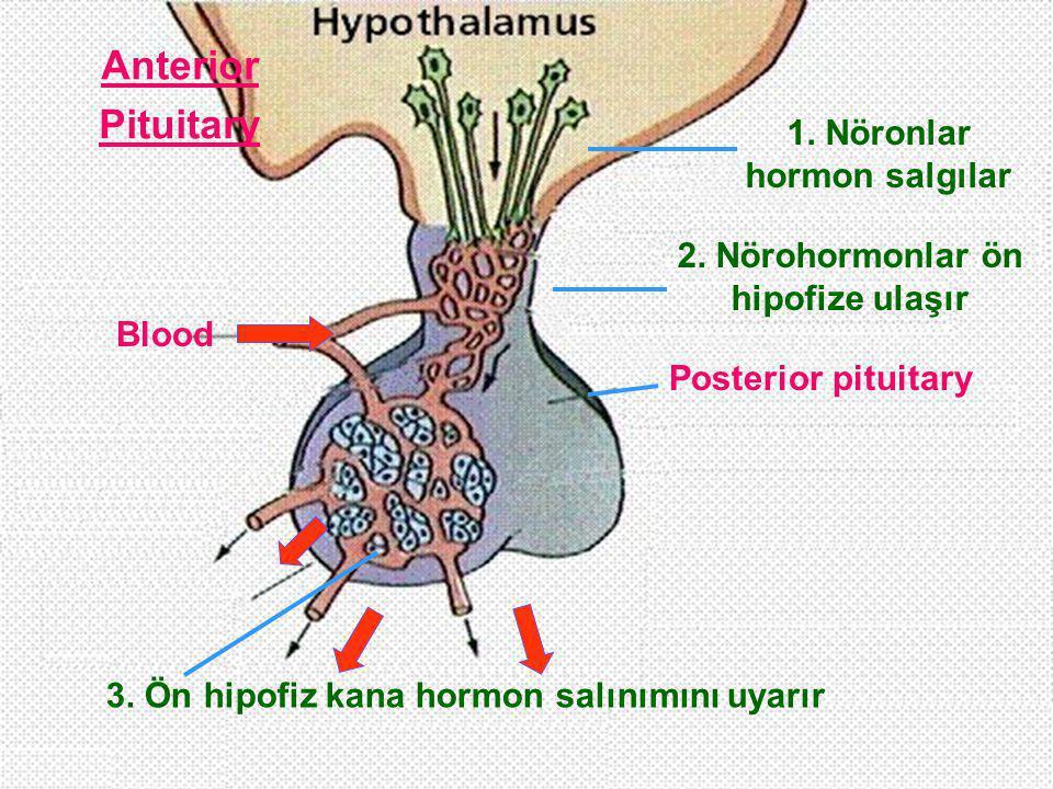 1. Nöronlar hormon salgılar 2. Nörohormonlar ön hipofize ulaşır