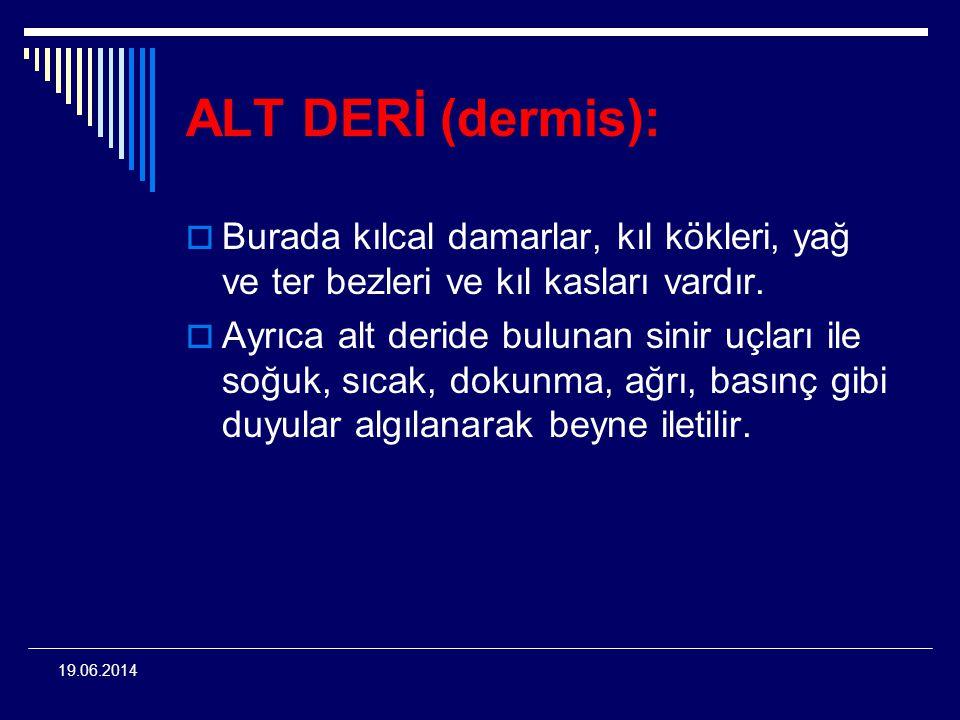 ALT DERİ (dermis): Burada kılcal damarlar, kıl kökleri, yağ ve ter bezleri ve kıl kasları vardır.