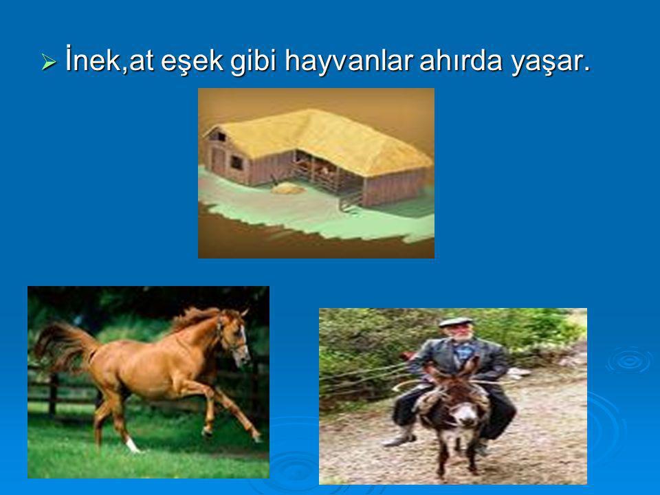 İnek,at eşek gibi hayvanlar ahırda yaşar.