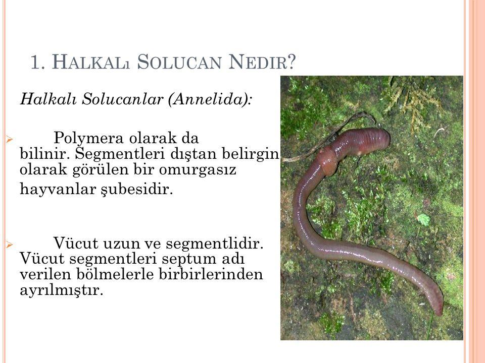 1. Halkalı Solucan Nedir Halkalı Solucanlar (Annelida): Polymera olarak da bilinir. Segmentleri dıştan belirgin olarak görülen bir omurgasız