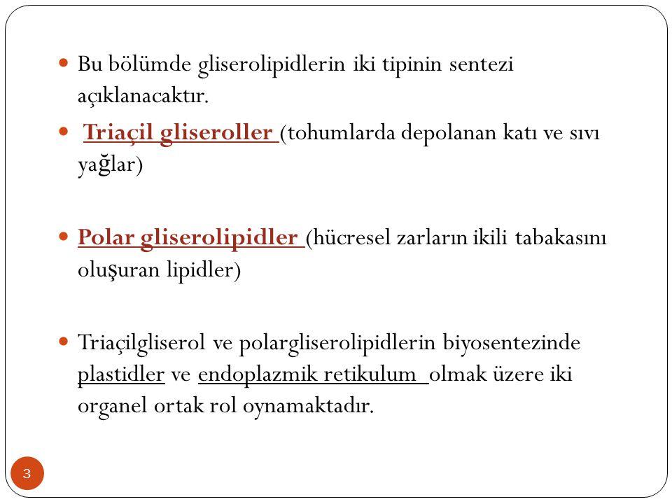 Bu bölümde gliserolipidlerin iki tipinin sentezi açıklanacaktır.