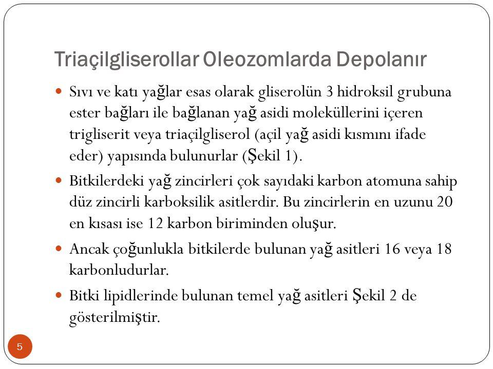 Triaçilgliserollar Oleozomlarda Depolanır