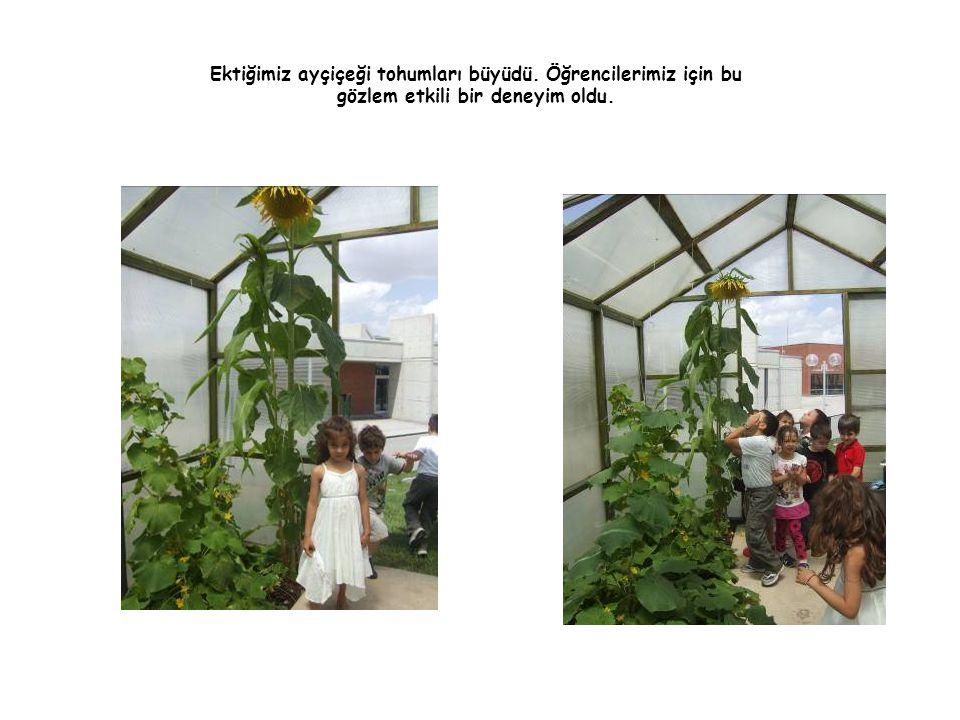Ektiğimiz ayçiçeği tohumları büyüdü