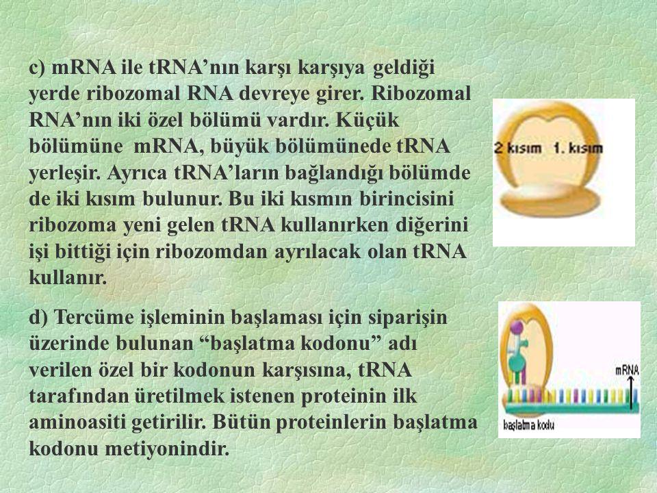 c) mRNA ile tRNA'nın karşı karşıya geldiği yerde ribozomal RNA devreye girer. Ribozomal RNA'nın iki özel bölümü vardır. Küçük bölümüne mRNA, büyük bölümünede tRNA yerleşir. Ayrıca tRNA'ların bağlandığı bölümde de iki kısım bulunur. Bu iki kısmın birincisini ribozoma yeni gelen tRNA kullanırken diğerini işi bittiği için ribozomdan ayrılacak olan tRNA kullanır.