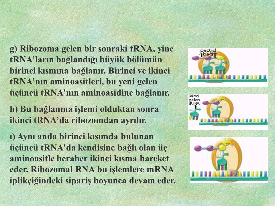 g) Ribozoma gelen bir sonraki tRNA, yine tRNA'ların bağlandığı büyük bölümün birinci kısmına bağlanır. Birinci ve ikinci tRNA'nın aminoasitleri, bu yeni gelen üçüncü tRNA'nın aminoasidine bağlanır.