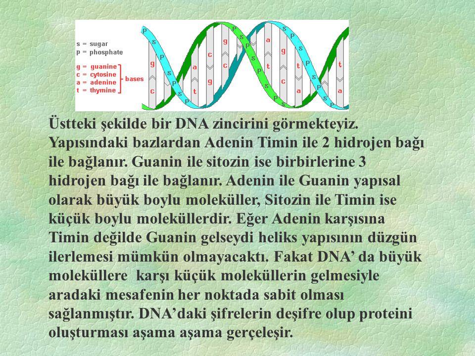 Üstteki şekilde bir DNA zincirini görmekteyiz