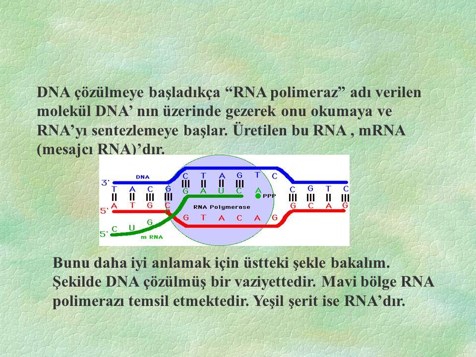 DNA çözülmeye başladıkça RNA polimeraz adı verilen molekül DNA' nın üzerinde gezerek onu okumaya ve RNA'yı sentezlemeye başlar. Üretilen bu RNA , mRNA (mesajcı RNA)'dır.