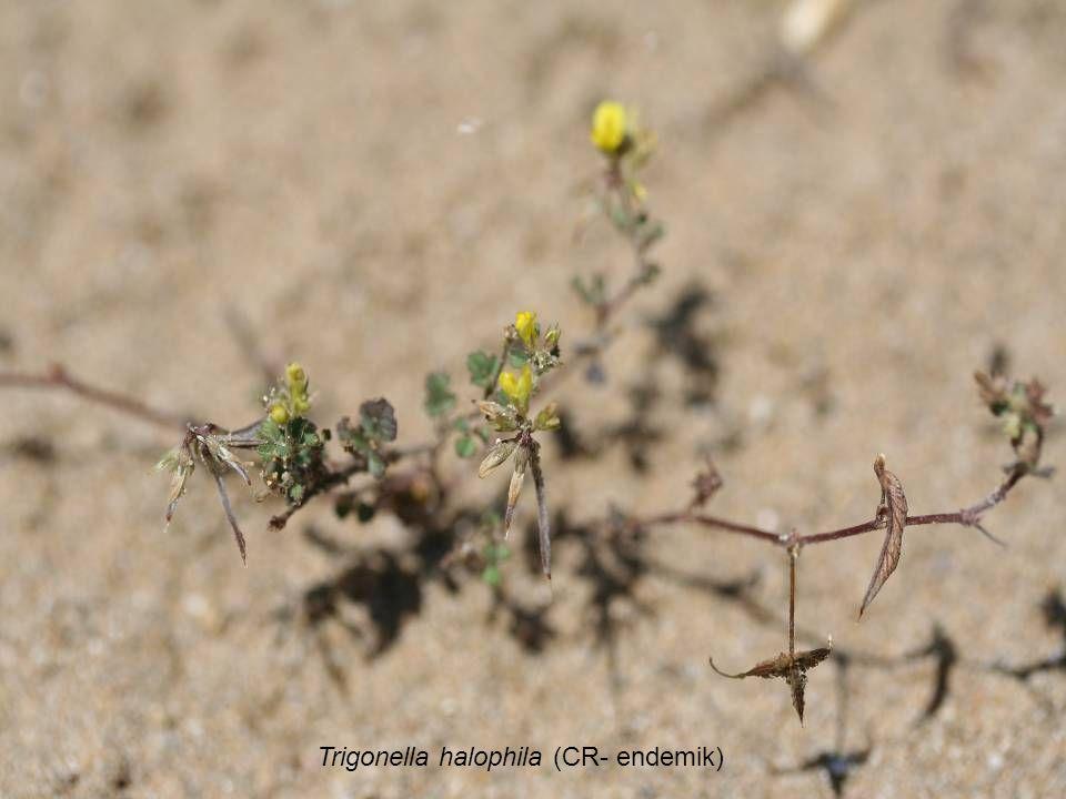 Trigonella halophila (CR- endemik)