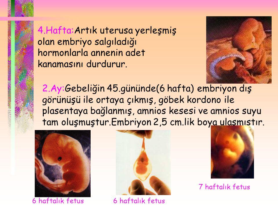 4.Hafta:Artık uterusa yerleşmiş olan embriyo salgıladığı hormonlarla annenin adet kanamasını durdurur.
