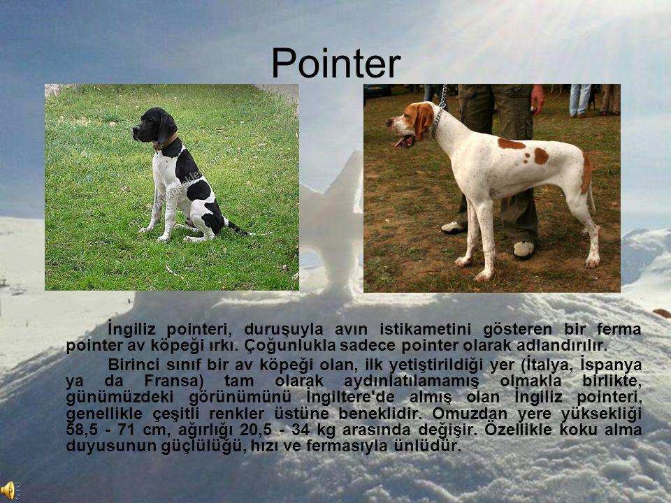 Pointer İngiliz pointeri, duruşuyla avın istikametini gösteren bir ferma pointer av köpeği ırkı. Çoğunlukla sadece pointer olarak adlandırılır.