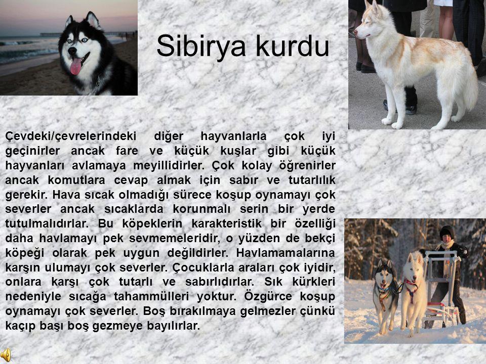 Sibirya kurdu