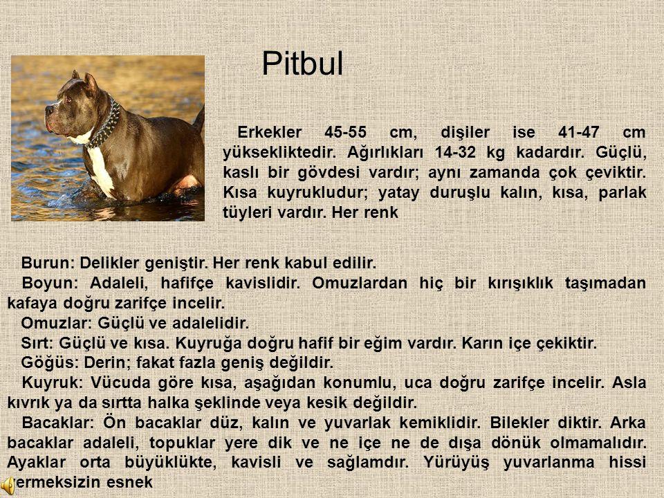 Pitbul