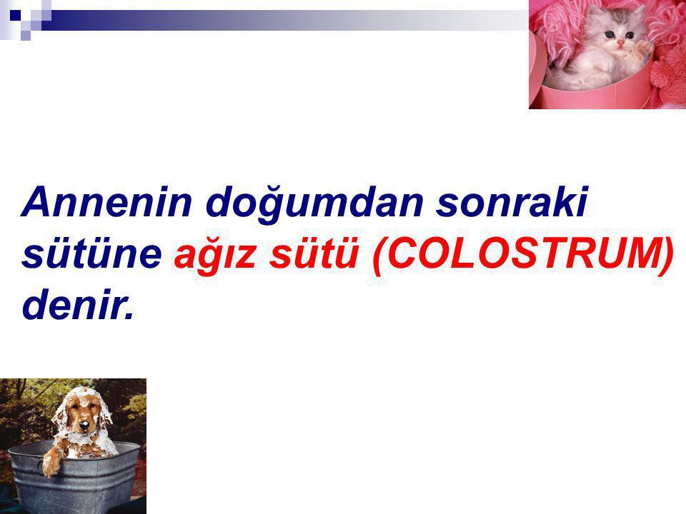 Annenin doğumdan sonraki sütüne ağız sütü (COLOSTRUM) denir.