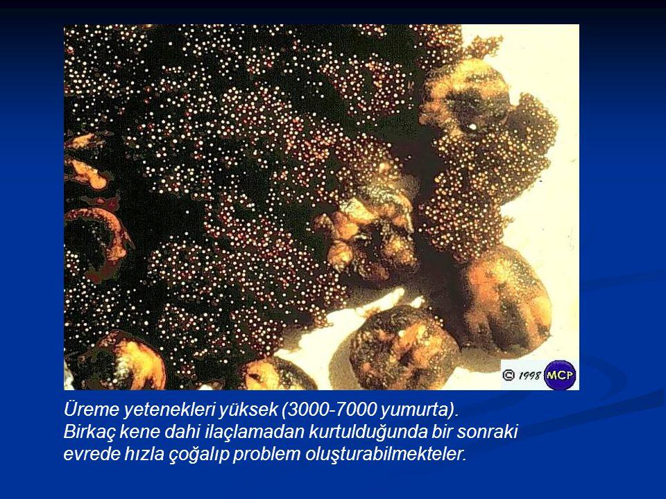 Üreme yetenekleri yüksek (3000-7000 yumurta).