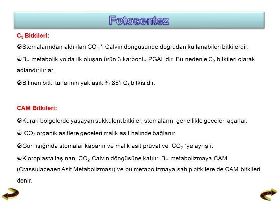 Fotosentez C3 Bitkileri: