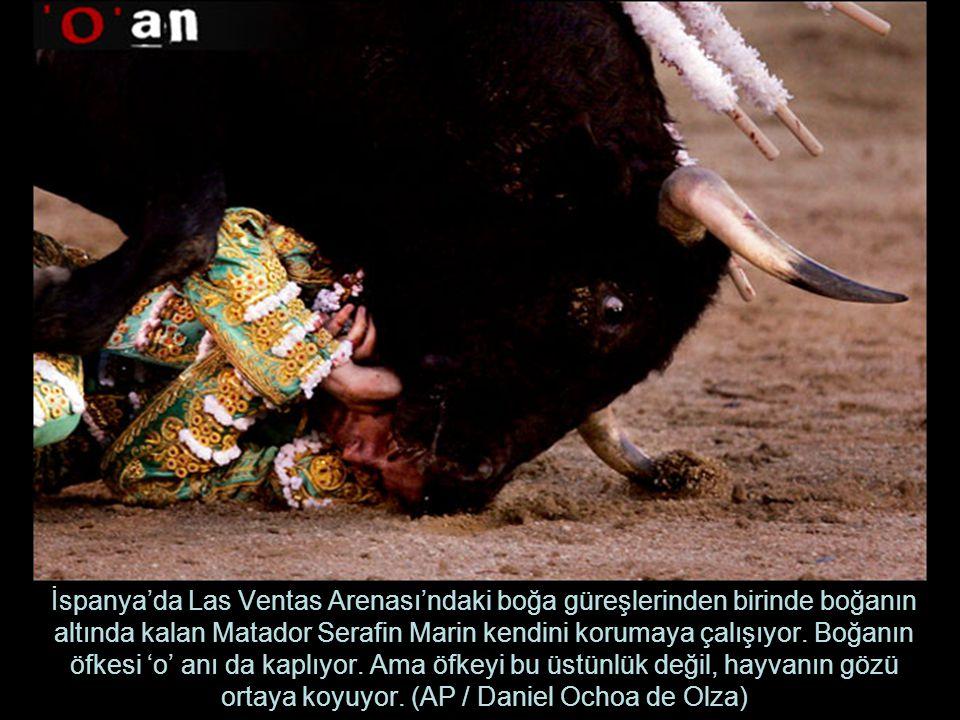 İspanya'da Las Ventas Arenası'ndaki boğa güreşlerinden birinde boğanın altında kalan Matador Serafin Marin kendini korumaya çalışıyor.