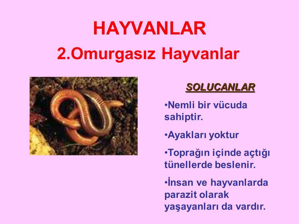 HAYVANLAR 2.Omurgasız Hayvanlar SOLUCANLAR Nemli bir vücuda sahiptir.