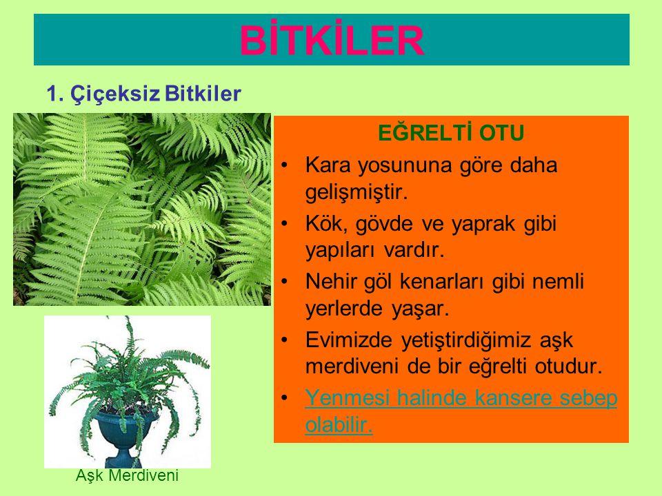 BİTKİLER 1. Çiçeksiz Bitkiler EĞRELTİ OTU
