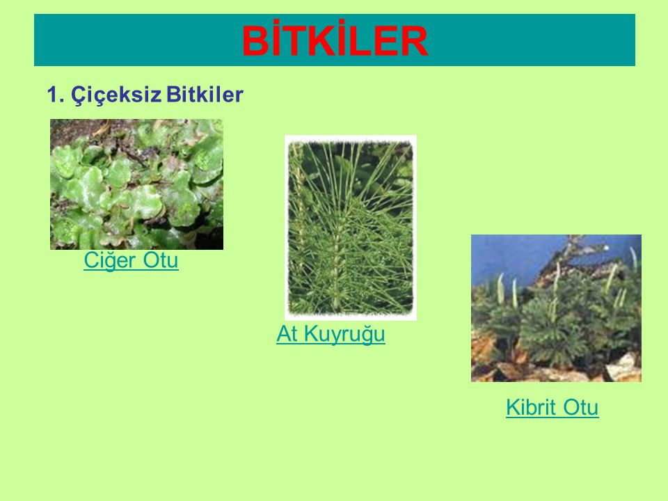 BİTKİLER 1. Çiçeksiz Bitkiler Ciğer Otu At Kuyruğu Kibrit Otu