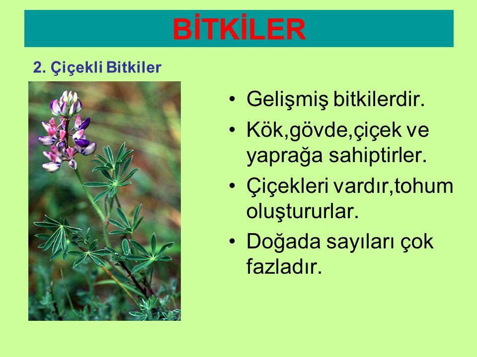 BİTKİLER Gelişmiş bitkilerdir. Kök,gövde,çiçek ve yaprağa sahiptirler.