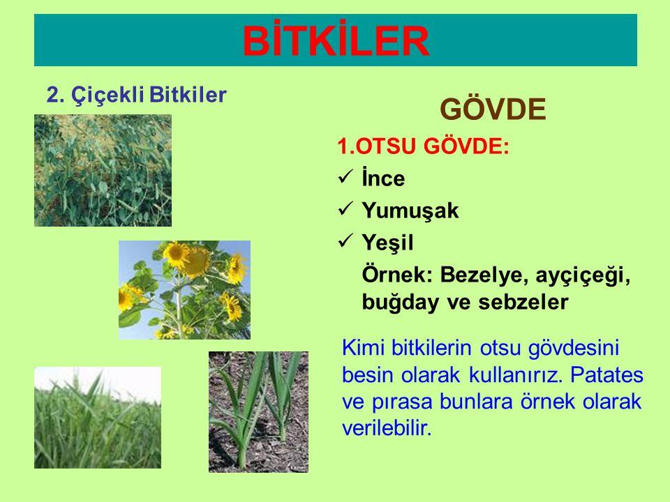 BİTKİLER GÖVDE 2. Çiçekli Bitkiler 1.OTSU GÖVDE: İnce Yumuşak Yeşil