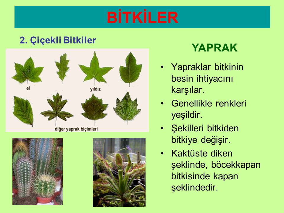 BİTKİLER YAPRAK 2. Çiçekli Bitkiler