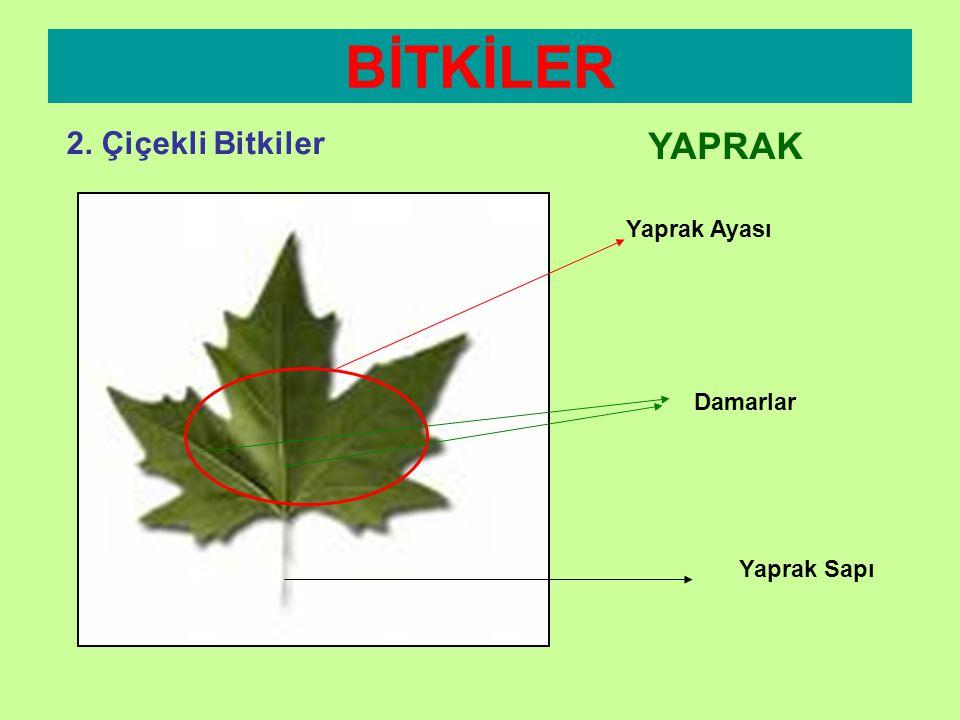 BİTKİLER 2. Çiçekli Bitkiler YAPRAK Yaprak Ayası Damarlar Yaprak Sapı