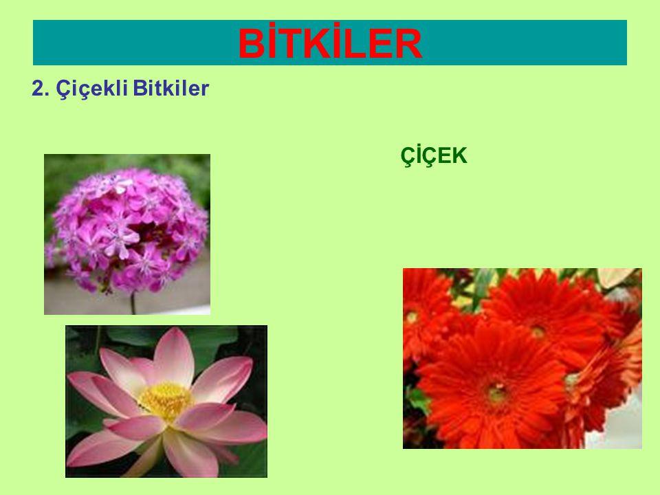 BİTKİLER 2. Çiçekli Bitkiler ÇİÇEK