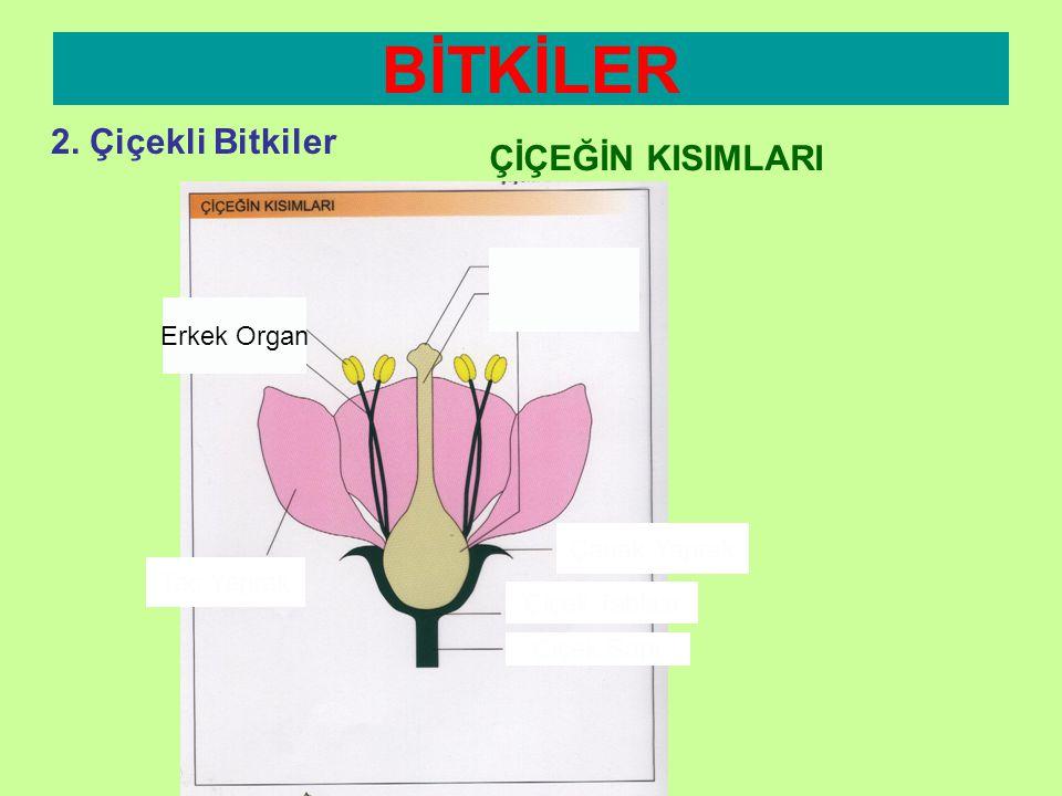 BİTKİLER 2. Çiçekli Bitkiler ÇİÇEĞİN KISIMLARI Dişi Organ Erkek Organ