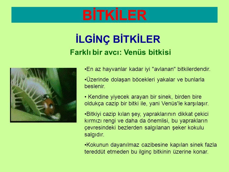 BİTKİLER İLGİNÇ BİTKİLER Farklı bir avcı: Venüs bitkisi