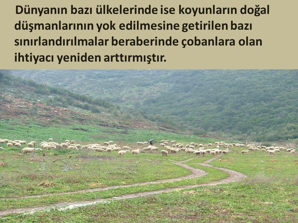 Dünyanın bazı ülkelerinde ise koyunların doğal düşmanlarının yok edilmesine getirilen bazı sınırlandırılmalar beraberinde çobanlara olan ihtiyacı yeniden arttırmıştır.