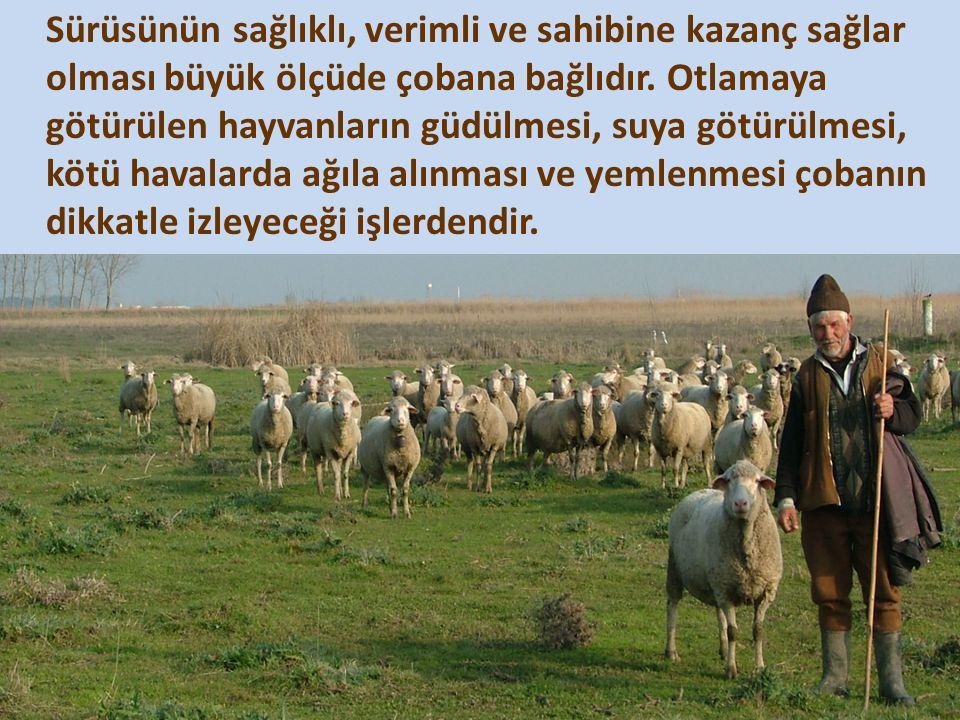 Sürüsünün sağlıklı, verimli ve sahibine kazanç sağlar olması büyük ölçüde çobana bağlıdır.