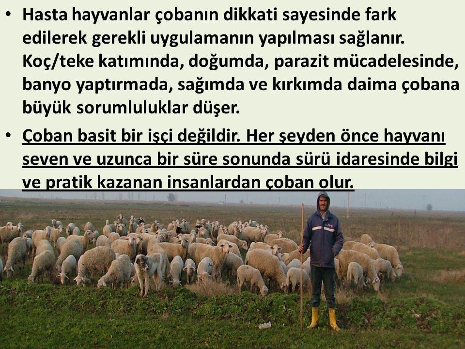 Hasta hayvanlar çobanın dikkati sayesinde fark edilerek gerekli uygulamanın yapılması sağlanır. Koç/teke katımında, doğumda, parazit mücadelesinde, banyo yaptırmada, sağımda ve kırkımda daima çobana büyük sorumluluklar düşer.