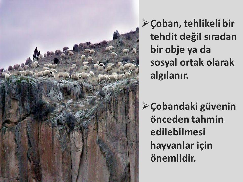 Çoban, tehlikeli bir tehdit değil sıradan bir obje ya da sosyal ortak olarak algılanır.