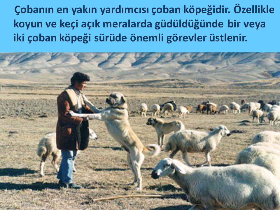 Çobanın en yakın yardımcısı çoban köpeğidir