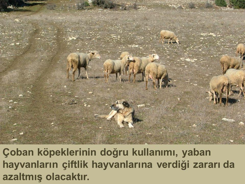 Çoban köpeklerinin doğru kullanımı, yaban hayvanların çiftlik hayvanlarına verdiği zararı da azaltmış olacaktır.