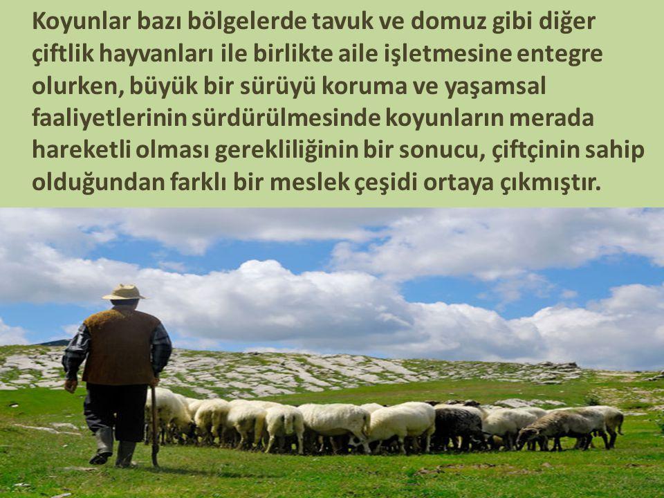Koyunlar bazı bölgelerde tavuk ve domuz gibi diğer çiftlik hayvanları ile birlikte aile işletmesine entegre olurken, büyük bir sürüyü koruma ve yaşamsal faaliyetlerinin sürdürülmesinde koyunların merada hareketli olması gerekliliğinin bir sonucu, çiftçinin sahip olduğundan farklı bir meslek çeşidi ortaya çıkmıştır.