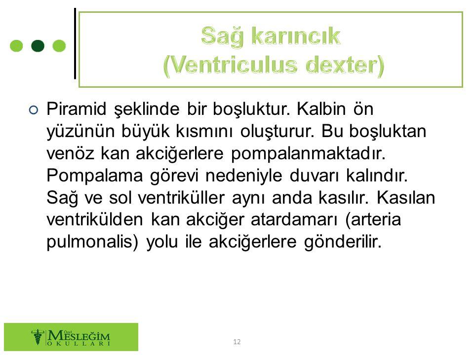 Sağ karıncık (Ventriculus dexter)