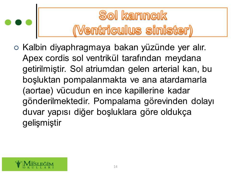 Sol karıncık (Ventriculus sinister)