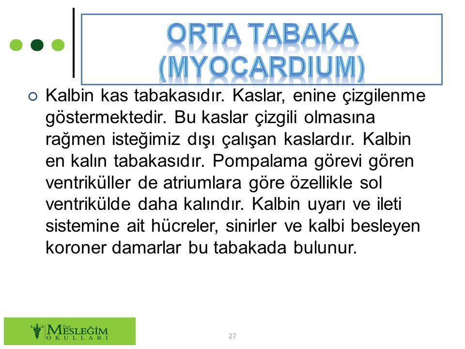 Orta tabaka (Myocardium)