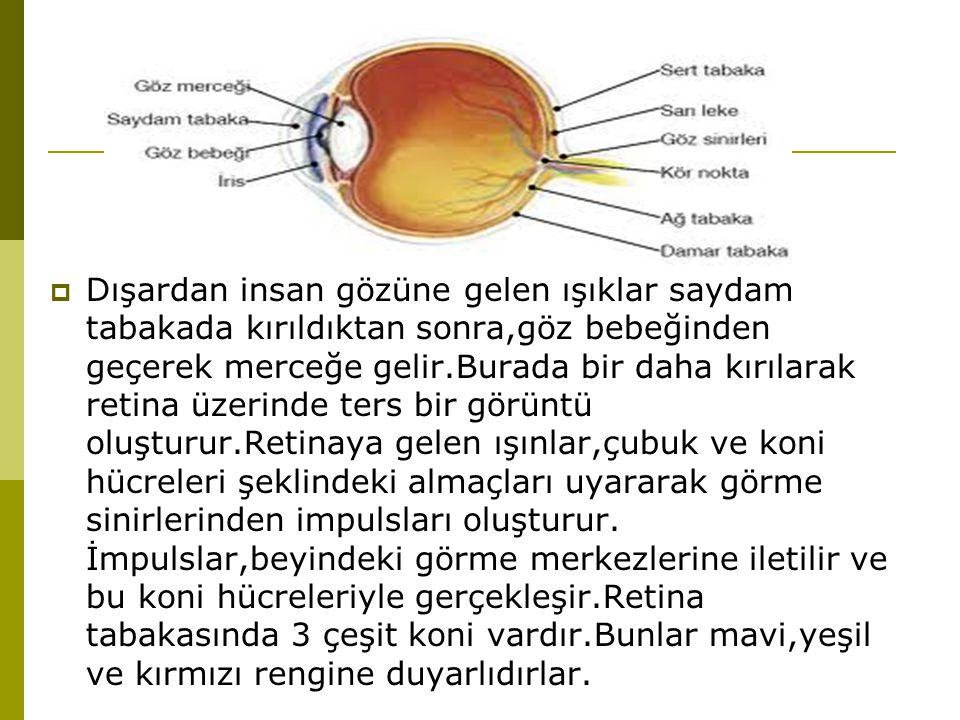 Dışardan insan gözüne gelen ışıklar saydam tabakada kırıldıktan sonra,göz bebeğinden geçerek merceğe gelir.Burada bir daha kırılarak retina üzerinde ters bir görüntü oluşturur.Retinaya gelen ışınlar,çubuk ve koni hücreleri şeklindeki almaçları uyararak görme sinirlerinden impulsları oluşturur.