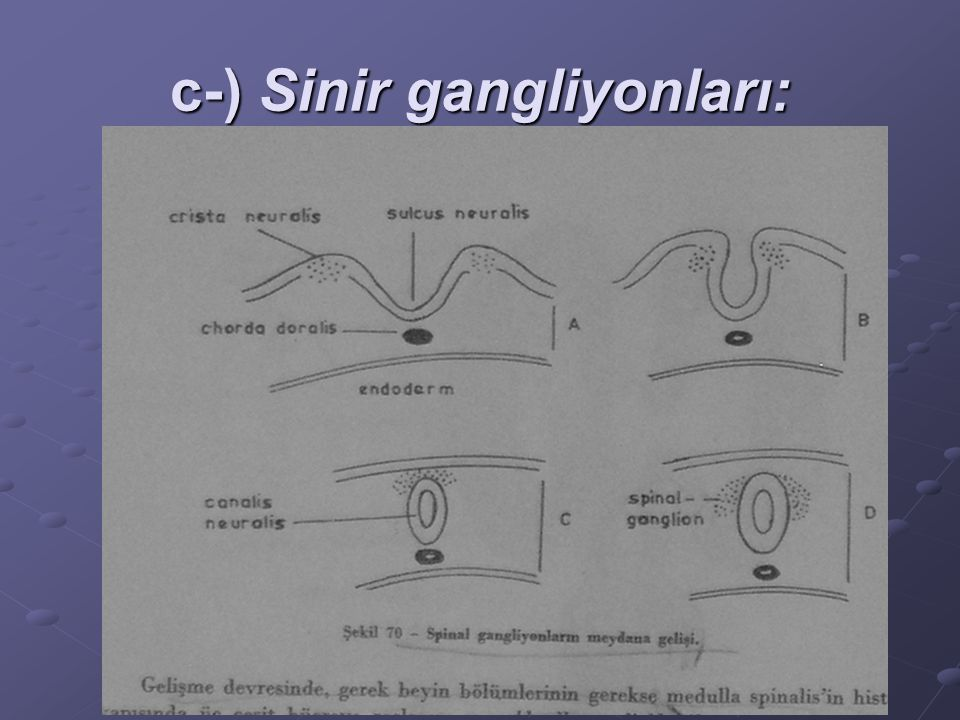 c-) Sinir gangliyonları: