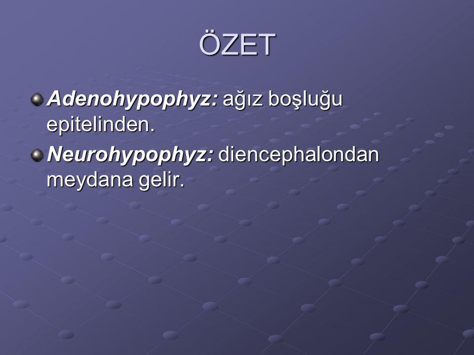 ÖZET Adenohypophyz: ağız boşluğu epitelinden.